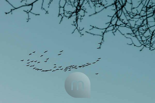 Zugvögel auf der Reise vor dem Winter