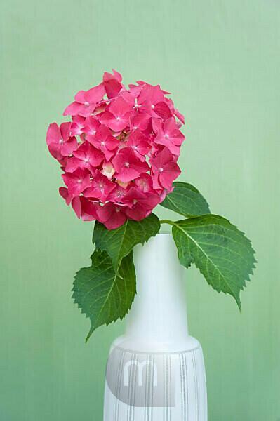 Hydrangea flower in white vase