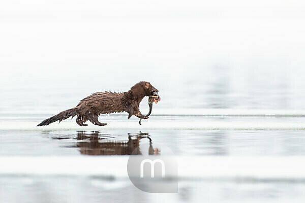 Mink, American Mink, Neovison vison, with fish as prey, Finland, winter