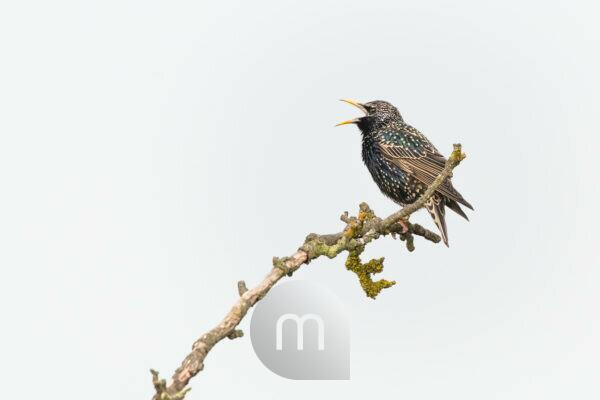 Common starling on a branch