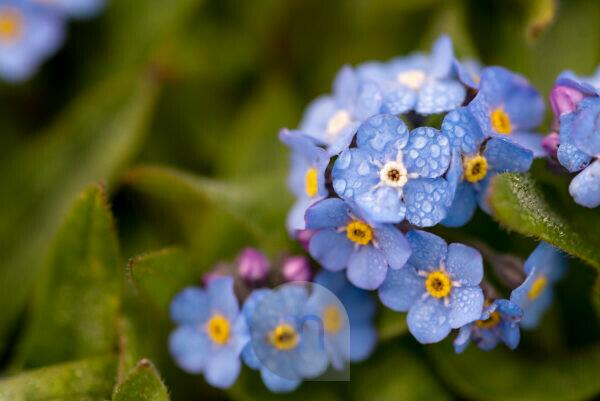 """The flower of the """"forget me not"""" (myosotis) with dew drops as a macro shot"""