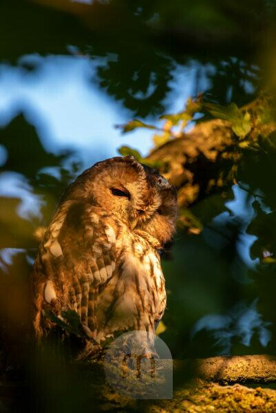 A wild tawny owl in the late evening golden evening light, sits on the branch of an oak