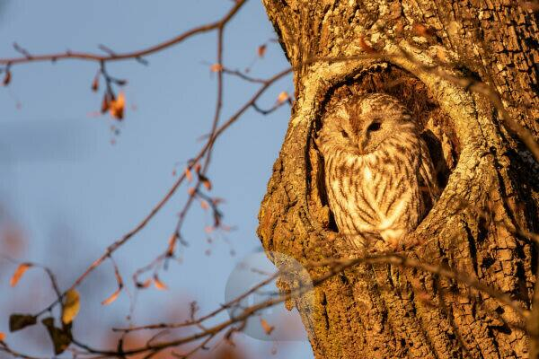 A tawny owl in front of his tree cave in the golden evening light