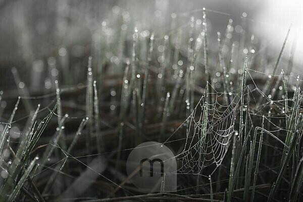 Spinnennetz im Gras mit Morgentau