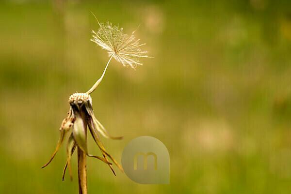 Einzelne Samenschirm des Wiesen-Bocksbart (Tragopogon pratensis)