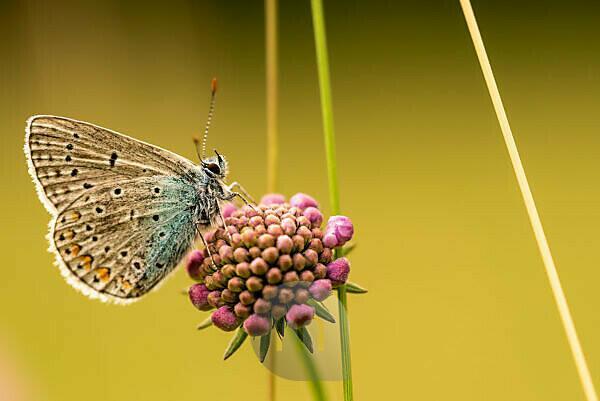gossamer-winged butterfly (Lycaenidae) sitting on a flower