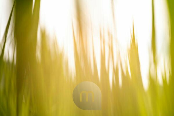 Reed and grass with camera motion blurred as a background image