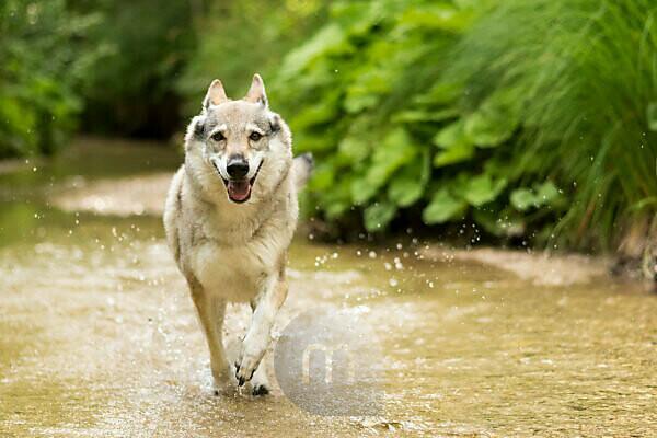 The Wolfhound Leica in a portrait, Czechoslovakian Wolfdog