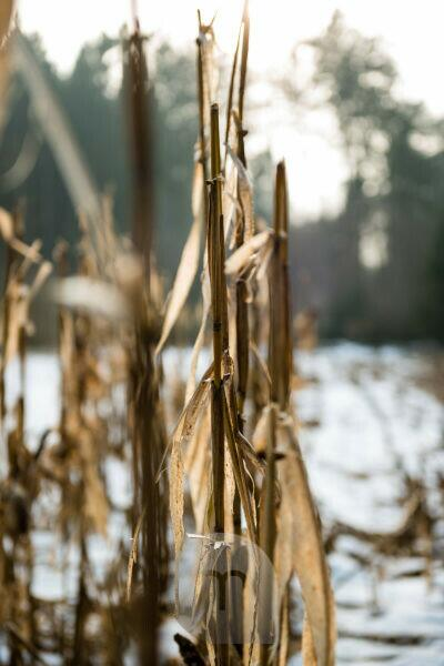 Maize in winter