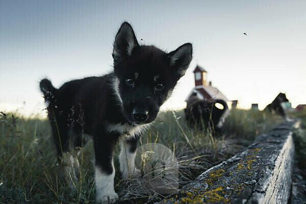 Sled dog puppies in Disko Bay on Midsummer, Greenland
