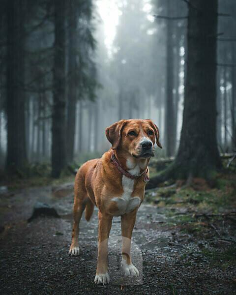 Hund Labrador Schweizer Sennenhund Mischling im Roten Moor, Rhön, Deutschland