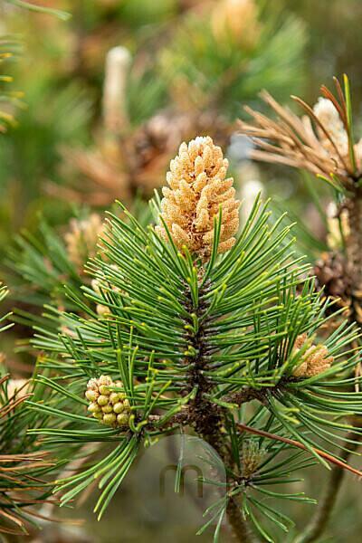 Bergkiefer (Pinus mugo) eine Pflanzenart aus der Gattung der Kiefern (Pinus), Kieferngewächse (Pinaceae).