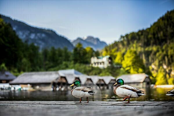 Jetty, Königssee, Bavaria, Berchtesgaden, mountains, Schönau, ducks, boathouses