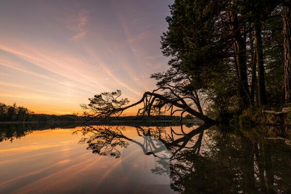 A low-growing pine is reflected in the water after sunset on the banks of the large Ostersee near Iffeldorf.