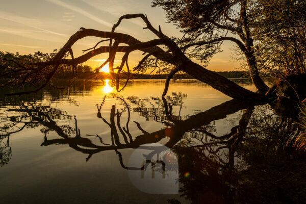 A pine tree on the shore of the Great Ostersee near Iffeldorf is reflected in the water with the sun star.
