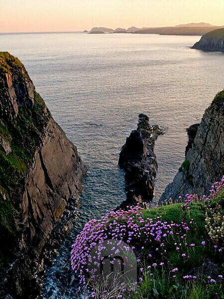 Europa, Großbritannien, UK, Wales, Nationalpark Pembrokeshire Coast, Steilküste am St. David's Head, Abendstimmung, Grasnelken, Strandnelken