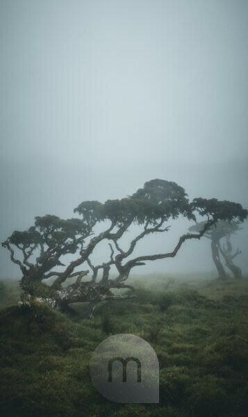 Azores, Pico, trees in the fog