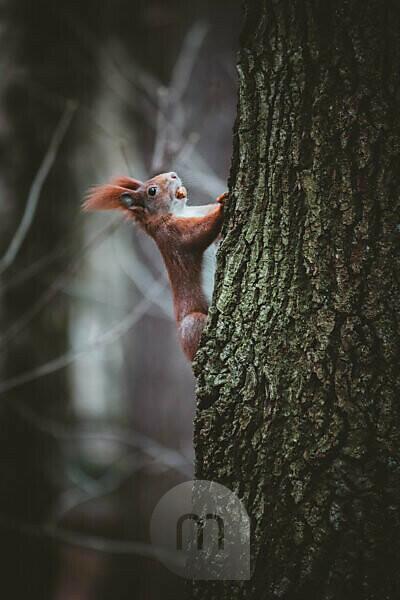 Germany, Saxony, Chemnitz, squirrel