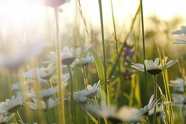 Feld von Margeriten im warmen Licht der Sommersonne