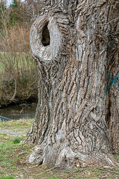 Großes Astloch in einem Baumstamm.