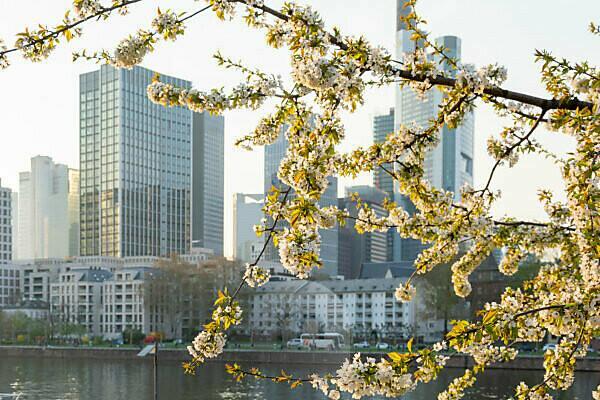Deutschland, Hessen, Frankfurt, Frankfurter Skyline hinter einem blühenden Zierkirschenbaum.