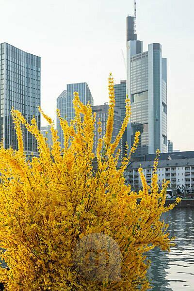 Deutschland, Hessen, Frankfurt, Frankfurter Skyline. Forsythie auch Garten-Forsythie, Goldflieder oder Goldglöckchen genannt.