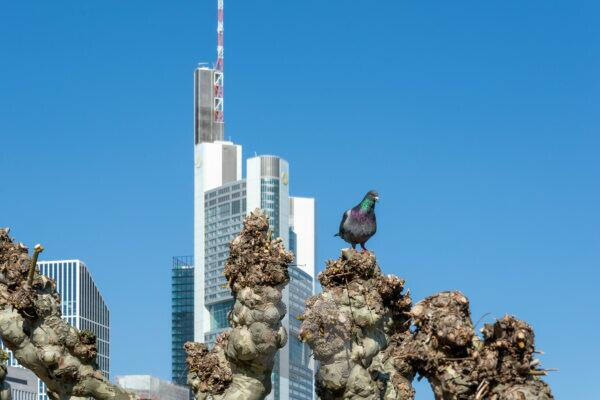 Germany, Hesse, Frankfurt, pigeon on a plane tree, in the background the Commerzbank headquarters.