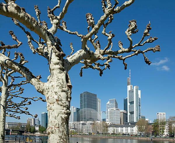 Deutschland, Hessen, Frankfurt, Frankfurter Skyline, Platanen am Main.