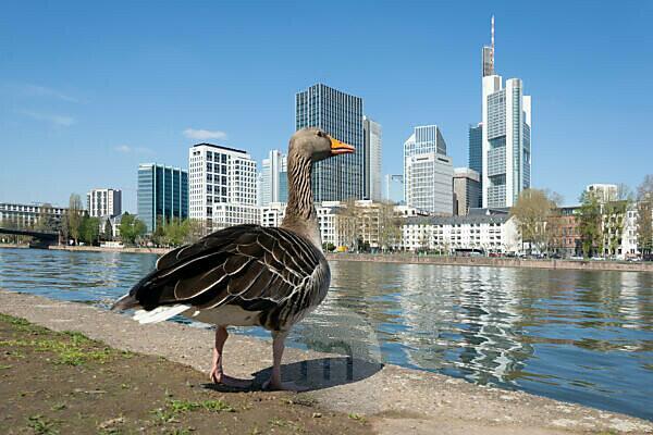 Deutschland, Hessen, Frankfurt, Frankfurter Skyline, Graugans am Mainufer mit der Skyline im Hintergrund.