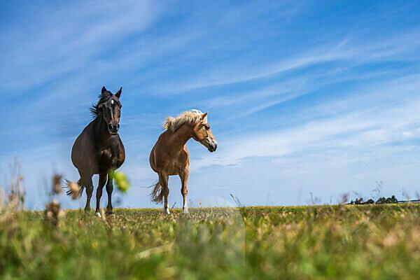 Europe, North Sea, North Sea island, Wadden Sea, Germany, National Park, Schleswig-Holstein, Two horses on Amrum