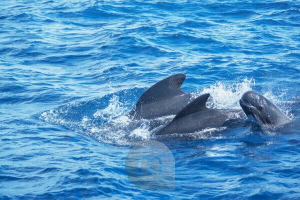 Pilot whales (Globicephala melas) family swimming together in the strait of Gibraltar,  Andalusia, Spain, Europe