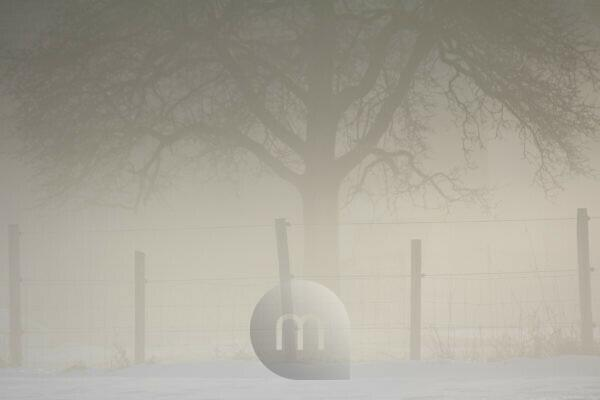 Old apple tree and fence covered in fog