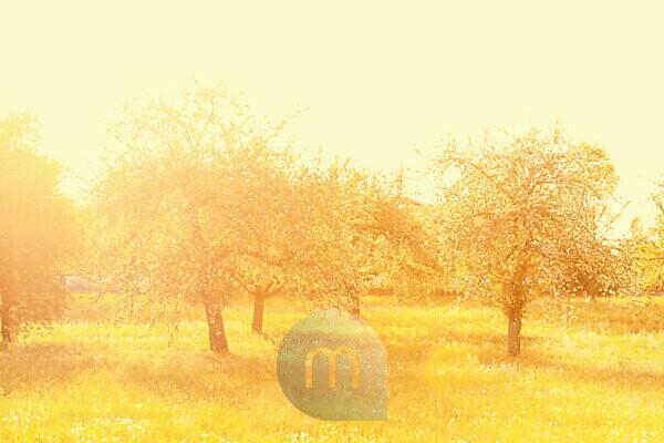Apple trees in the golden light of the morning sun