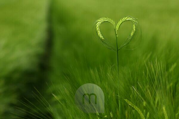 Ears of barley forming a heart in a green field