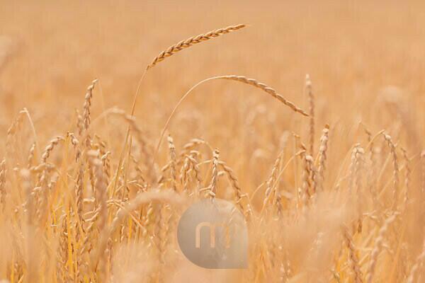 harvest time, ripe spelt plants