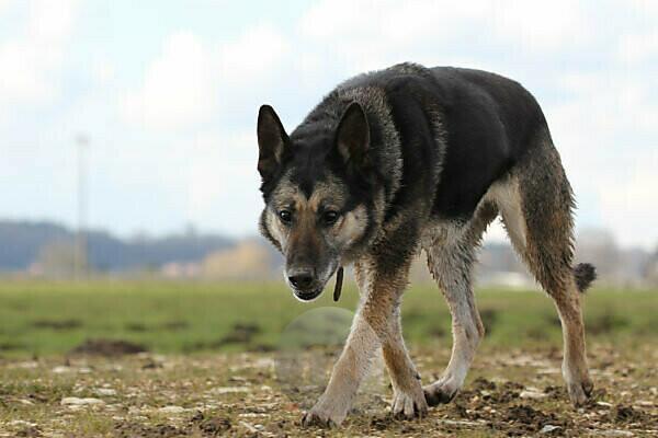 german sheperd dog walking outside