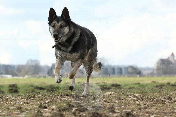 german sheperd dog running outside