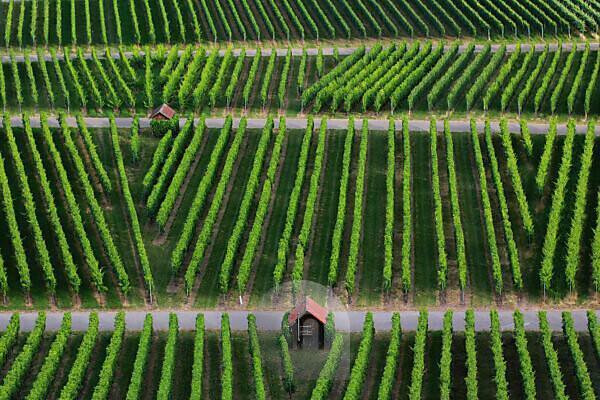 wine grapes on vine stock