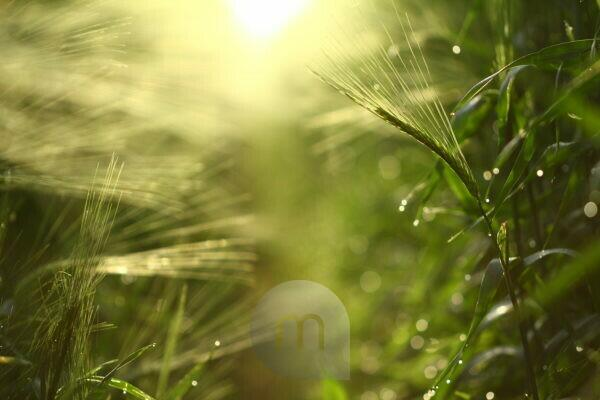 Field of barley in the light of the rising sun