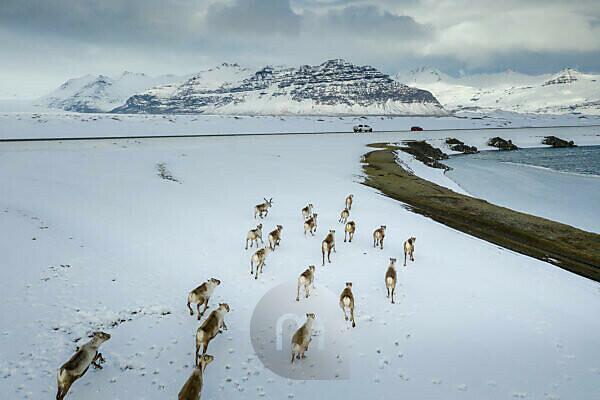 Wild reindeers running, Vatnjokull National Park, Iceland
