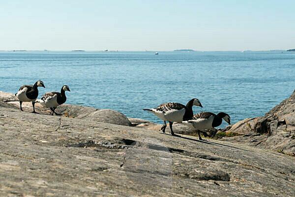 Helsinki, Insel Suomenlinna, Granitfelsen, kanadische Gänse