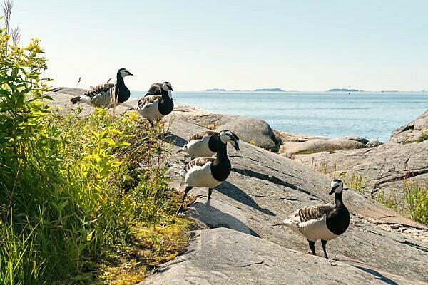 Helsinki, Insel Suomenlinna, Granitfelsen, Schärenlandschaft, kanadische Gänse
