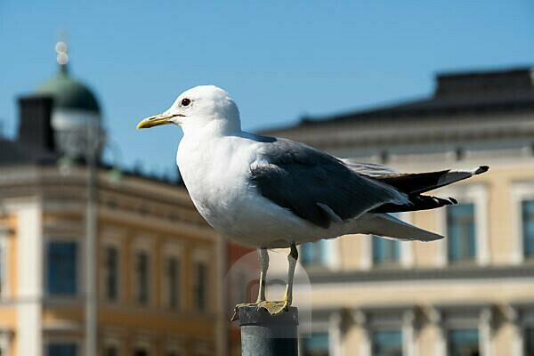 Helsinki, old town, harbor, seagull