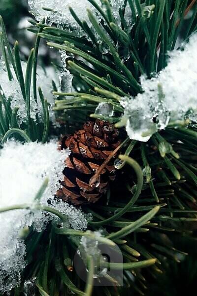 Detailaufnahme eines Tannenzapfens mit schneebedeckten Tannennadeln