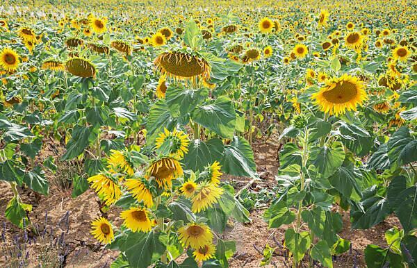 Sunflowers, Alpes de Haute Provence, Provence, France, Europe