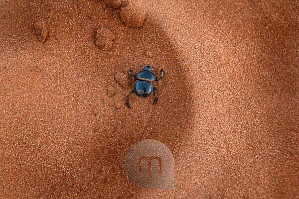 Dung beetle (Scarabaeidae) in the sand at Etosha National Park, Namibia, Africa