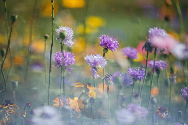 Flower meadow with cornflowers, close-up