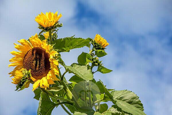 Close up of a sunflower in Comelico, Belluno, Veneto, Italy