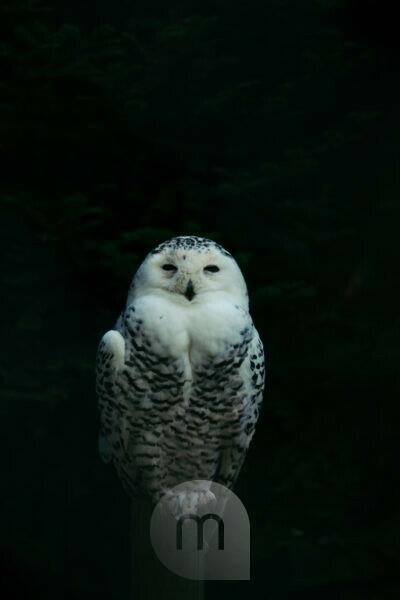 Snowy owl at night, close-up, Bubo scandiacus