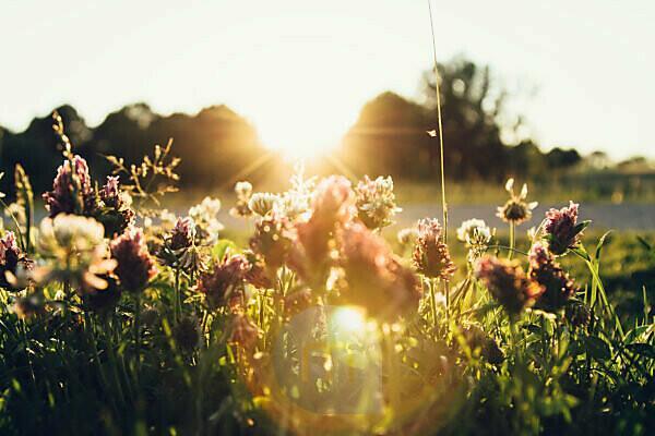 Blumenwiese mit Kleeblumen im Gegenlicht
